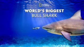 World's Biggest Bullshark